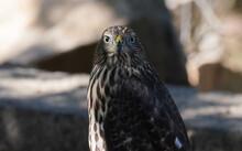 A Young Cooper's Hawk Looks Di...