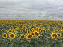Sunflower Field With Sky