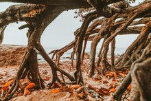 Brown Real Tree Roots Intertwine, Autumn Yellow Leaves Lie On The Ground Under The Root Of A Large Tree, Fresh Air In Nature,solitude In Autumn, Plant Weaving ,hard Bark Orange Leaf Color