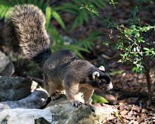Sherman Fox Squirrel Stock Pho...