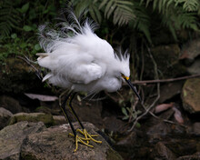 Snowy Egret Stock Photos.  Close-up Profile View Standing On Moss Rocks With Foliage Background, Displaying White Feathers, Fluffy Plumage, In Its Environment And Habitat. Image. Portrait. Picture.