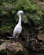 Snowy Egret Stock Photos. Snowy Egret Close-up Profile View Standing On Moss Rocks With Foliage Background, Displaying White Feathers, Fluffy Plumage, In Its Environment And Habitat. Image. Picture.