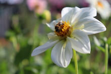 A Honey Bee Collects Nectar O...