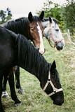 Fototapeta Zwierzęta - trzy konie na pastwisku