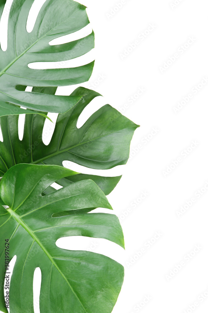 Fototapeta Green tropical monstera leafs isolated on white background