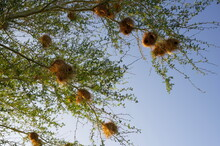 Low Angle Shot Of Weaver Bird Nests On A Tree In South Africa