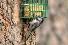 Mountain Chickadee At Suet Cage.