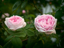 Two Buds Of A Tea Rose