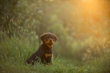 Rottweiler Puppy In Nature. Do...