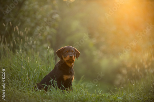 Rottweiler puppy in nature. dog on the grass. pet in park