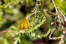 Macro Orange Sulphur Butterfly Colias Eurytheme On Branch On Sunny Day