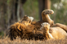 Large Male Lion Lying On Its B...