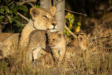 Mother Lioness And Her Two Cubs Lying Down On Dry Grass In Golden Sunlight In Botswana