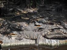 Close Up Group Of Crocodiles W...