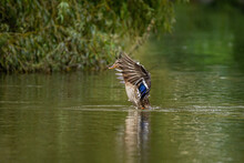 One Brown Female Duck Flapping...