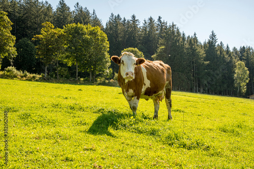 Foto single cow on sunny meadow in front of the forest