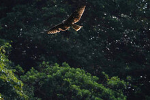 Black Kite In Forest