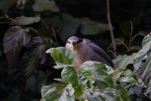 Black Crowned Night Heron On B...