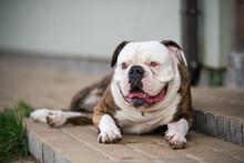 White American Bulldog Dog Sle...