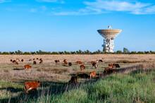 Cows Graze On A Field Near The...