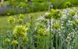 canvas print picture - Green and yellow  flowering garlic - Allium obliquum (alliaceae)