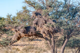 Communal bird nest in camel-thorn tree in the Kgalagadi