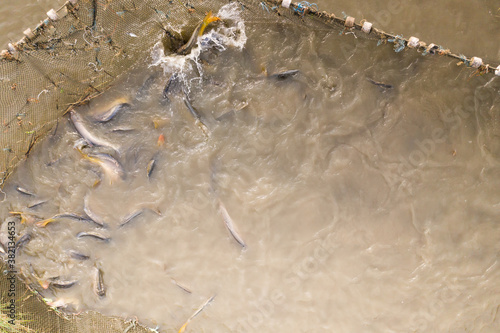 Photo Autumn harvest of carps from fishpond to christmas markets