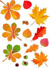 Leaves Of Horse Chestnut Tree ...