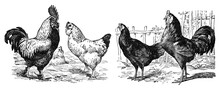 Vintage Or Retro Rooster And H...