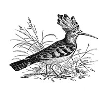 Hoopoe Or Upupa Epops Bird / A...