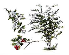 Tree Crataegus Or Hawthorn, Ma...