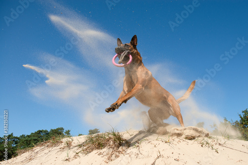 Fotografija Spectacular jumping belgian shepherd catching its toy in sand dunes on a sunny d
