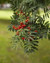 Vertical Shot Of Red Berries O...