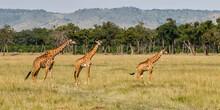 Giraffe Family Walking On The ...