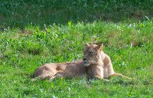 Lioness Lying In The Grass