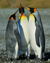 King Penguins In Dispute - Sou...
