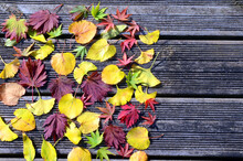 Composition Of Maple, Linden A...