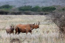 The Black Rhinoceros Or Hook-lipped Rhinoceros (Diceros Bicornis) Female With Young In The Evening Savannah.A Pair Of Rare Rhinos In The Dry Yellow Grass.