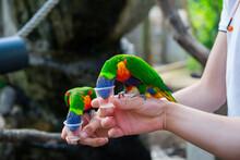 Two Rainbow Lorikeets Parrot E...
