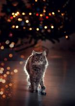 Beuatiful Gray Cat Under The C...