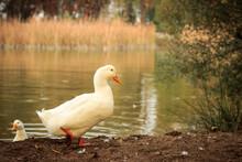 Cute White Duck With Orange Bi...