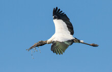 A Wood Stork In Flight Building A Nest In A Rookery Near St Augustine, Florida