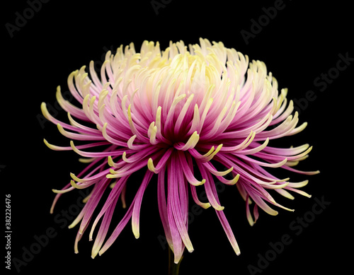Fotomural Unusual light green and purple star chrysanthemum isolated on black background
