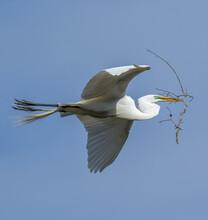 A Great Egret In Flight Carryi...