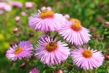 Three Honey Bees Pollinating V...