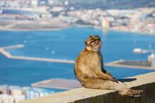 Gibraltar Barbary Ape, Gibraltar Rock, Gibraltar