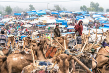 Camels At The Livestock Market...