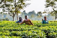 Women Picking Tea From The Tea Plants On A Tea Plantation, Assam, India