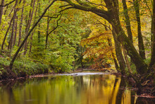 An Autumn Scene In Ancient Beech And Oak Woodland Along The Banks Of The River Teign, In Dartmoor National Park, Devon, England, United Kingdom