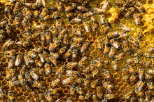 Honey Bees On Honeycomb, Mexico